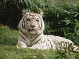 Melanistic White Bengal Tiger (Panthera Tigris Tigris), in Zoo Photographic Print by Gerry Ellis