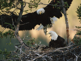 Bald Eagle (Haliaeetus Leucocephalus) Returning to Nest with Food for Chicks, Alaska Photographic Print by Michael S. Quinton