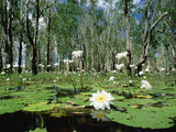 Sacred Lotus (Nelumbo Nucifera) in Bloom on Billabong, Kakadu National Park, Australia Photographic Print by Gerry Ellis