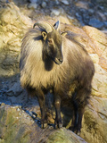 Himalayan Tahr (Hemitragus Jemlahicus) Male Standing on Rocks Photographic Print by Konrad Wothe