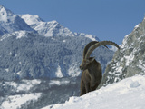 Alpine Ibex (Capra Ibex) Adult Male Standing in Snowy Mountains, Alps, France Fotografiskt tryck av Cyril Ruoso