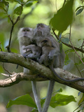 Long-Tailed or Crab-Eating Macaque (Macaca Fascicularis) Pair in Tree with Babies, Malaysia Fotografiskt tryck av Cyril Ruoso