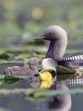 Pacific Loon (Gavia Pacifica) Parent and Chick Swimming Among Water Lilies Fotografiskt tryck av Michael S. Quinton