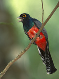 Blue-Crowned Trogon (Trogon Curucui) on Branch, Singing, Manu National Park, Peru Photographic Print by Pete Oxford