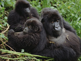 Mountain Gorillas (Gorilla Gorilla Beringei) Female, Virunga Mountains Photographic Print by Gerry Ellis