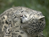 Snow Leopard (Uncia Uncia) Pair Playing Together, Endangered, Native to Asia and Russia Fotografiskt tryck av Cyril Ruoso