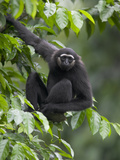 Muller's Bornean Gray Gibbon (Hylobates Muelleri) in Tree, Native to Southeast Asia Fotografiskt tryck av Cyril Ruoso