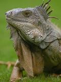Green Iguana (Iguana Iguana), Seminario Park, Guayaquil, Ecuador Photographic Print by Pete Oxford