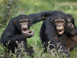 Chimpanzee (Pan Troglodytes) Pair Vocalizing, La Vallee Des Singes Primate Center, France Photographic Print by Cyril Ruoso