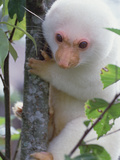 Spotted Cuscus (Phalanger Maculatus) in Tree, Papua New Guinea Photographic Print by Mark Moffett