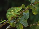 Parson's Chameleon (Chamaeleo Parsonii) Female, Eastern Rainforest, Madagascar Fotografisk tryk af Gerry Ellis