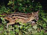 Malagasy Civet or Striped Civet (Fossa Fossana) Side View, Eastern Madagascar Photographic Print by Gerry Ellis