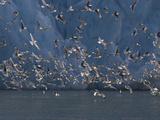 Kittiwakes Flying Near a Glacier Photographic Print by Paul Nicklen