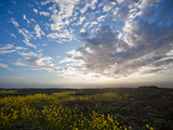 Mustard Flowers Bloom under a Dramatic Sky Photographic Print by Ben Horton
