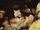 Bobcat (Lynx Rufus) on Rock, North America Photographic Print by Gerry Ellis