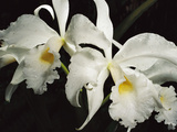 Orchid, Close-Up of White Flowers Wet with Rain, Atlantic Forest, Brazil Photographic Print by Mark Moffett