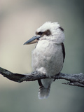 Laughing Kookaburra (Dacelo Novaeguineae) Perching on Branch, Australia Papier Photo par Gerry Ellis