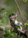 Long-Tailed or Crab-Eating Macaque (Macaca Fascicularis) Baby in Tree, Malaysia Fotografiskt tryck av Cyril Ruoso