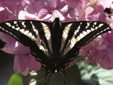 Tiger Swallowtail Butterfly (Papilio Glaucus) Perching on Pink Flowers, North America Photographic Print by Gerry Ellis