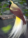 Raggiana Bird of Paradise (Paradisaea Raggiana), Native to Papua New Guinea Photographic Print by Cyril Ruoso