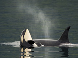 A Killer Whale Calf Raises Out of the Water Next to an Adult Photographic Print by Ralph Lee Hopkins