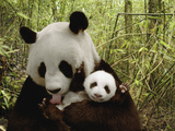 Giant Panda (Ailuropoda Melanoleuca) Gongzhu and Cub in Bamboo Forest Photographic Print by Katherine Feng