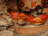 Captive Corn Snake, Elaphe Guttata Guttata Photographic Print by John Cancalosi