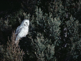 Great Gray Owl (Strix Nebulosa) in Blonde Phase Perching in Tree, Idaho Photographic Print by Michael S. Quinton
