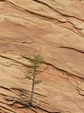 Tree Clinging to Sandstone Formation in Slickrock Country, Zion National Park, Utah Photographic Print by Gerry Ellis