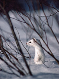 Long-Tailed Weasel (Mustela Frenata) Camouflaged Against Snow, Yellowstone, Wyoming Photographic Print by Michael S. Quinton
