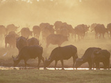Cape Buffalo (Syncerus Caffer) Herd in a Dusty Sunset, Okavango Delta, Botswana Photographic Print by Gerry Ellis