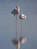 Greater Flamingo (Phoenicopterus Ruber) Pair Sleeping on One Leg, Camargue, France Fotografiskt tryck av Konrad Wothe
