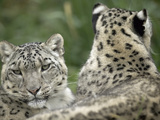 Snow Leopard (Uncia Uncia) Pair Resting Together, Endangered, Native to Asia and Russia Fotografiskt tryck av Cyril Ruoso