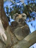 Koala (Phascolarctos Cinereus) Mother with Baby in Eucalyptus Tree, Australia Fotografisk tryk af Konrad Wothe