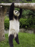 Giant Panda (Ailuropoda Melanoleuca) Young Panda Hanging from Tree Photographic Print by Katherine Feng