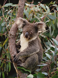 Koala (Phascolarctos Cinereus) Young Male in Eucalyptus Tree, Eastern Forested Australia Photographic Print by Gerry Ellis