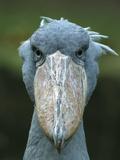 Whale-Headed Stork (Balaeniceps Rex) Photographic Print by Konrad Wothe