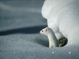 Long-Tailed Weasel (Mustela Frenata) Camouflaged in White Winter Coat, Idaho Photographic Print by Michael S. Quinton