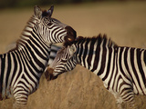 Zebra (Equus Burchellii) Pair Grooming, Masai Mara National Reserve, Kenya Photographic Print by Gerry Ellis