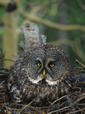Great Gray Owl (Strix Nebulosa) Parent Incubating Eggs on Nest Photographic Print by Michael S. Quinton
