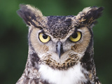 Great Horned Owl (Bubo Virginianus), Front View, North America Photographic Print by Gerry Ellis