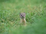 Yellow Mongoose (Cynictis Penicillata) Peeking from Burrow, Okavango Delta, Botswana Photographic Print by Gerry Ellis
