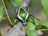 Emerald Fruit Chafer Beetle (Dicronorrhina Derbyana) on Branch Among Leaves, Zimbabwe Photographic Print by Gerry Ellis