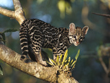 Margay (Leopardus Wiedii) Wild Kitten, Captive Orphan, Costa Rica Photographic Print by Gerry Ellis