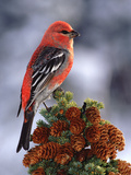Pine Grosbeak (Pinicola Enucleator) Male, Perched Atop Tree, Alaska Photographic Print by Michael S. Quinton