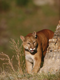 Mountain Lion or Cougar (Felis Concolor) Peering around the Corner of a Rock Edge Photographic Print by Gerry Ellis
