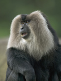 Lion-Tailed Macaque (Macaca Silenus) Male, Endangered Native to India Photographic Print by Cyril Ruoso