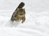 Domestic Cat (Felis Catus) Male Running in Snow, Germany Fotografisk tryk af Konrad Wothe