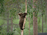 European Brown Bear (Ursus Arctos) Cub Climbing Tree, Germany Photographic Print by Konrad Wothe