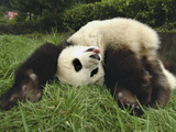 Giant Panda (Ailuropoda Melanoleuca) Rolling in Green Grass, Wolong Nature Reserve, China Photographic Print by Katherine Feng
